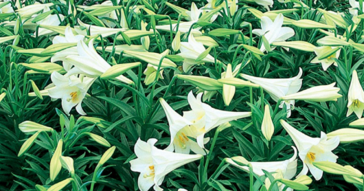 1.76 Qt Easter Lily On Sale 50% Off